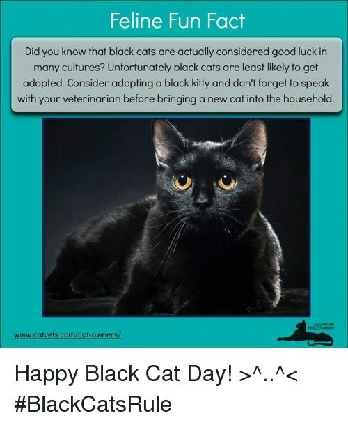Kitties Memes and Veterinarian Feline Fun Fact Did you know that black cats