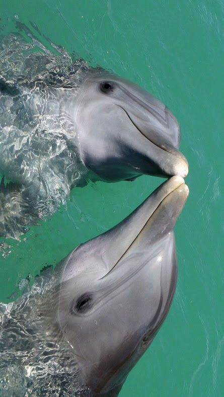 """Dolphins"" YOU ARE INVITED TO READ AN INTERESTING ARTICLE ABOUT THIS TOPIC IN THE · Animals KissingCute"