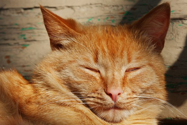 An orange tabby cat with his eyes closed or eyes blinking