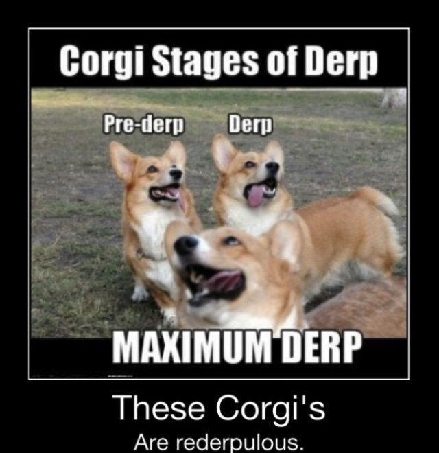 Lulu is stage maximum derp Corgi Funny Corgi Dog Funny