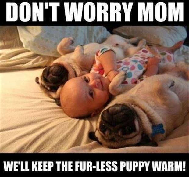 Filed Under Pug Meme Tagged With Funny Funny Pugs Meme Pug Pug Meme Pugs