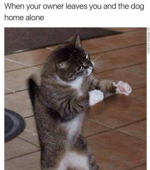 1 boxing cat meme for when owner is not home and has to fight the