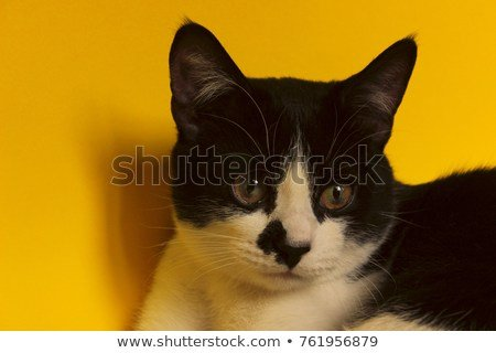 Cute smiling tuxedo cat with funny face Tuxedo Cat over yellow background Close up