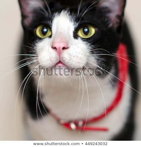 Funny tuxedo cat is smiling cute nose and wiskers close up
