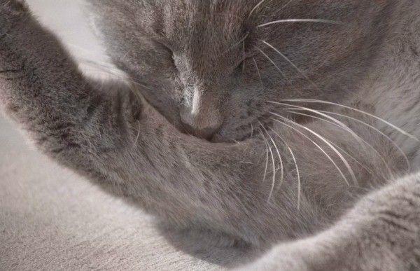 cat biting hair of his leg