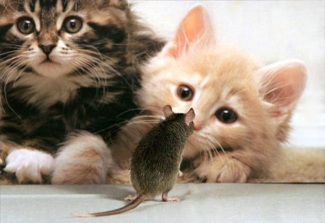 funny cats kittens mouse photo