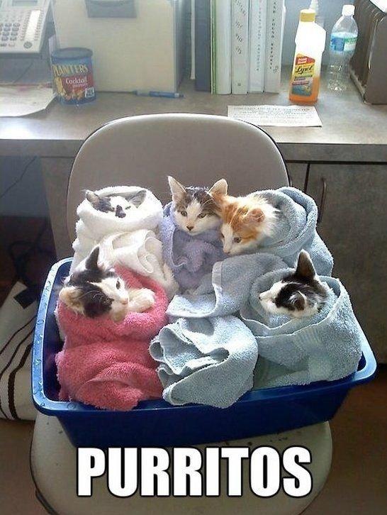 So cute cat purritos Cool Pinterest
