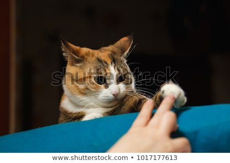 Funny angry cat Orange cat playing with human hand on the blue pillow