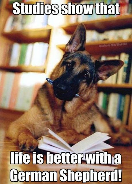 Funny GSD memes Page 2 German Shepherd Dog Forums