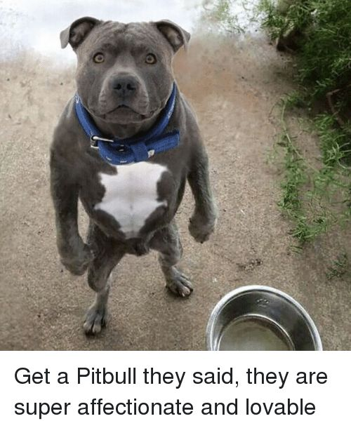 Funny Pitbull and Super