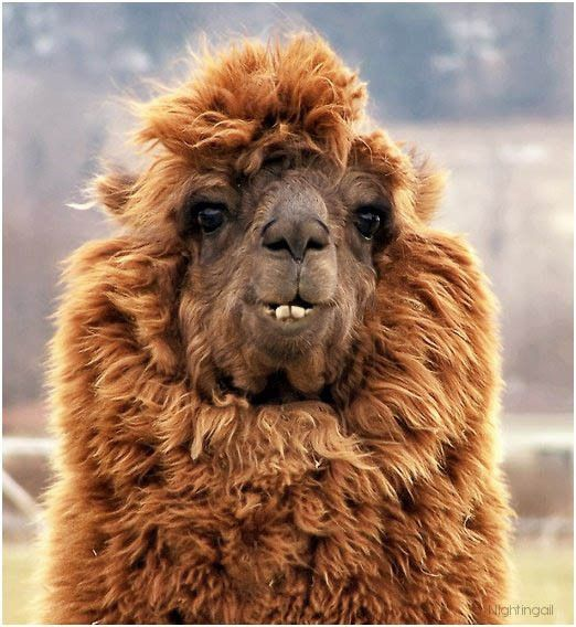 funny alpacas with awesome amazing hilarious hair 6