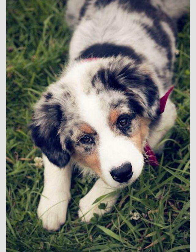 Currently my lock screen Aussie Shepherd Puppy Mini Aussie Puppy Aussie Puppies