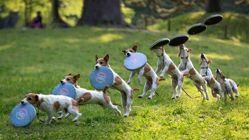 Best Frisbee Dogs