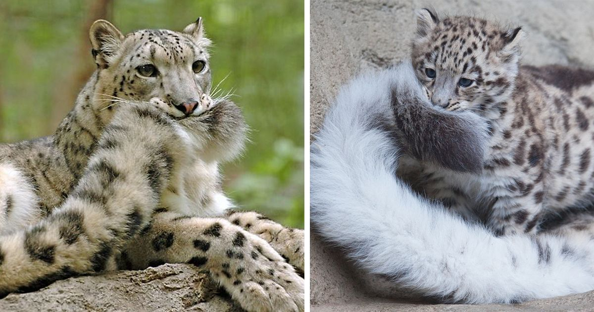 snow leopards biting tail funny cats fb 1