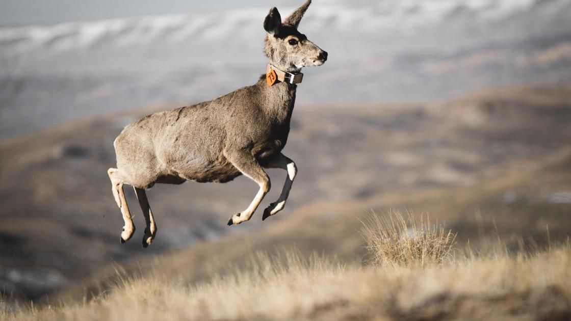 State and conservationists hit stalemate over oil and gas development in southwest Wyoming mule deer corridor Energy Journal