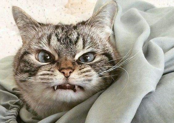 19 Pissed f Cats That Are Way Too Cute To Be Angry Pissed f Funny