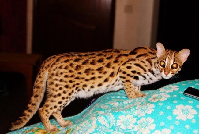 Asian Bengal Cat 33 Bengal Kittens Cats And Kittens Funny Cat