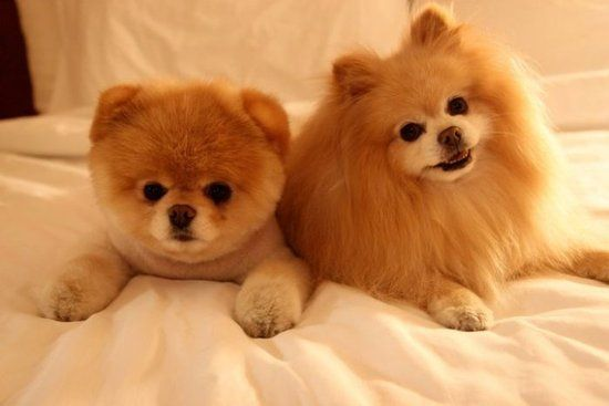 Pomeranian I want And someday I will have I want the one with the short puppy cut looks like a teddy bear SO CUTE