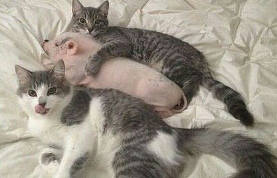 move along … nothing to see here … just a cat cuddling a pig Funny AnimalsAdorable