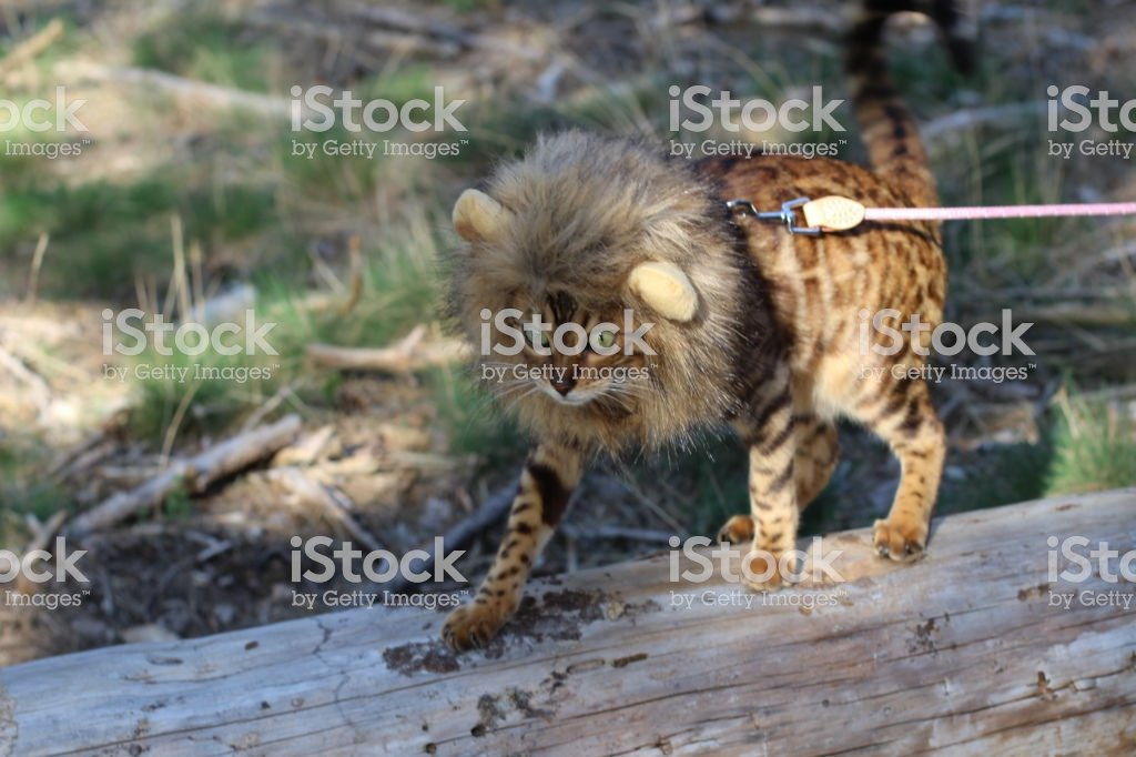 Funny tabby cat with lion style wig royalty free stock photo