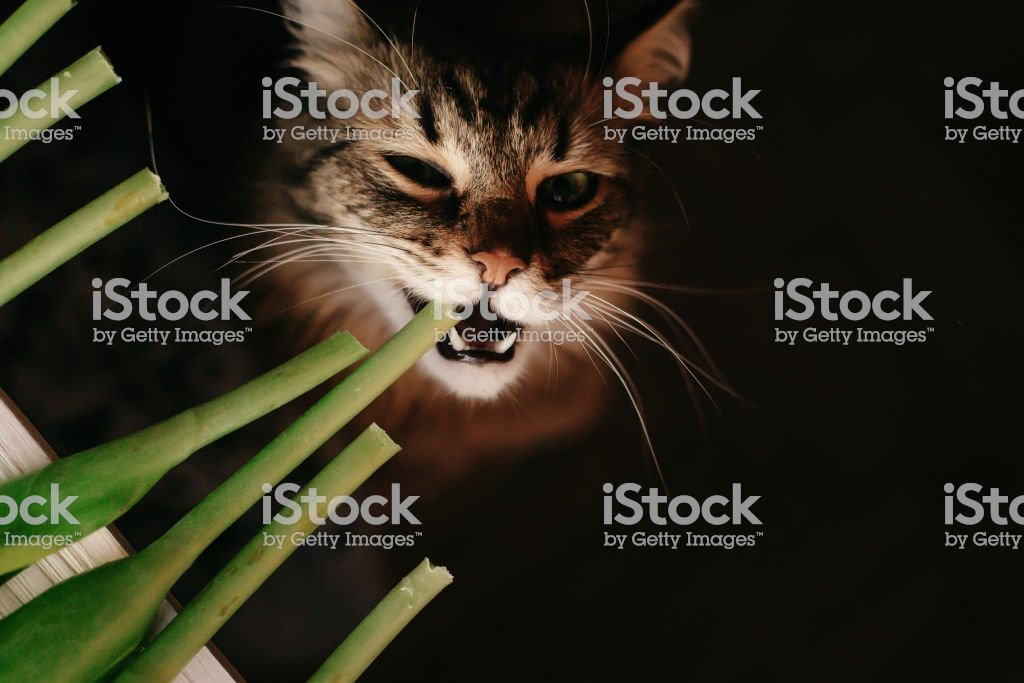 cat eating green plant showing teeth and big whiskers beautiful cat with funny emotions
