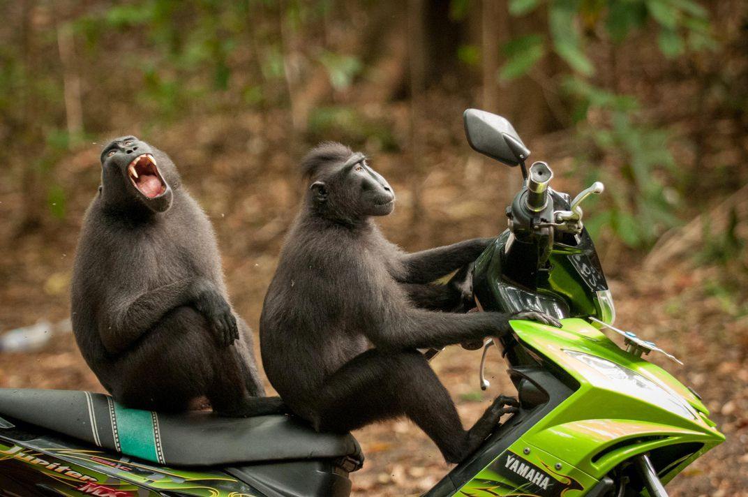 These monkeys are having some fun in Indonesia in this highly mended image Katy Laveck Foster edy Wildlife s Awards