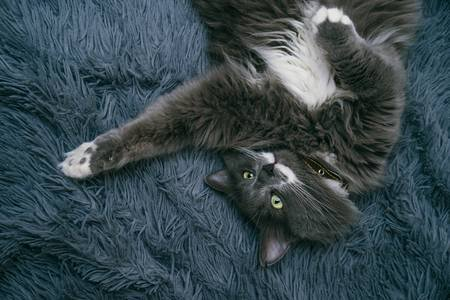 Beautiful gray funny cat relaxes on a blanket Stock