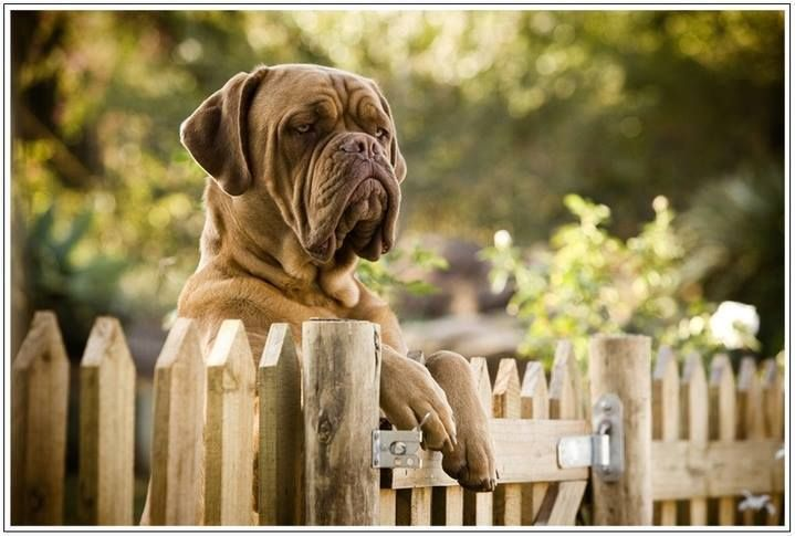 "French Mastiff ""Who goes there """
