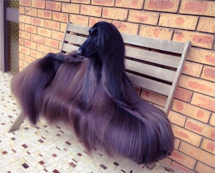 Afghan Hound This dog is the definition of fabulous
