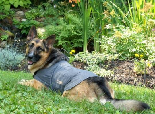 Bru used a Thundershirt to keep from licking his stitches after his Bloat surgery