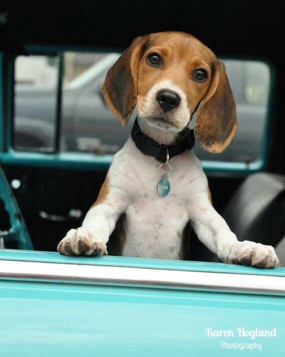I wuv his cute little puppy face Beagle Puppy in an aqua Chevrolet Bel Air by KarenHoglund on Etsy