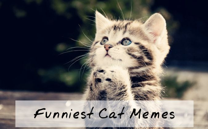 Collect the Marvelous Very Cute and Funny Cat Memes
