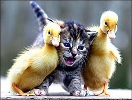 A kitten being arrested by 2 ducklings