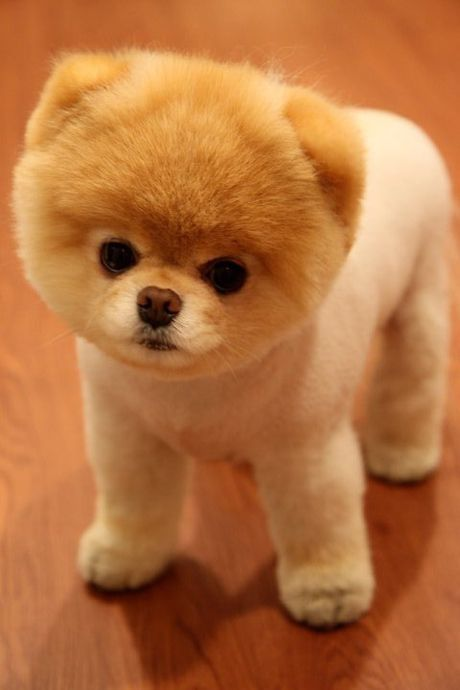I am hoping to adopt a lil dog in the next year This is BOO The worlds cutest dog