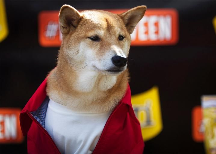 The shiba inu went viral online What happened to the breed in real life