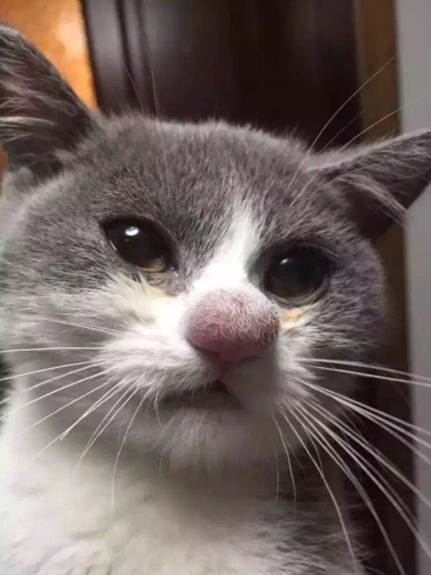 1 Cat s Nose After Losing A Battle With A Bee