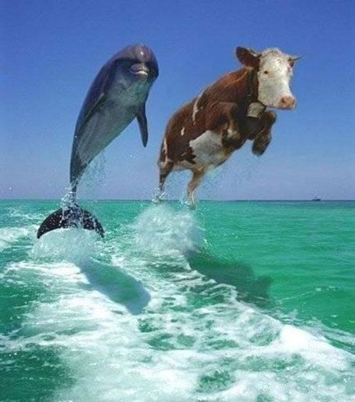 Dolphin Cow
