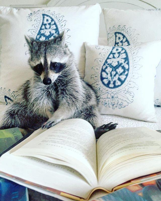 pumpkintheraccoon raccoon weeklyfluff love pet instagood instagram instalike book harrypotter ho… animal