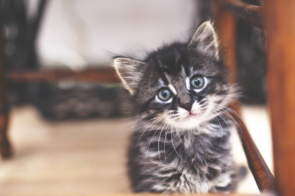 "15 words for ""kitten"" in different languages that will make your heart explode HelloGiggles"
