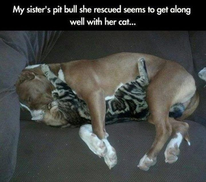 "37 Funny Animal Memes ""My sister s pit bull she rescued seems to along """