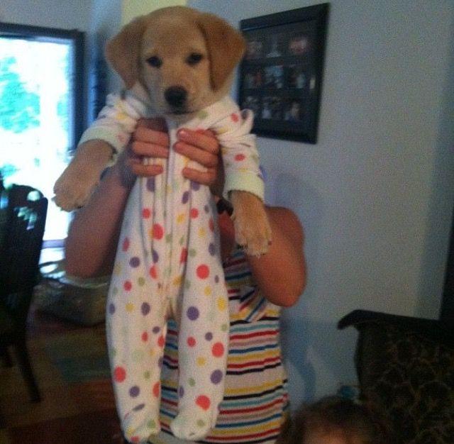 Good morning Wish I was still in my pajamas like this little guy DogInPajamas GoodMorning