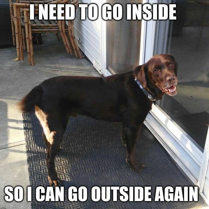 Cute Funny Animals Funny Dogs Funny Dog Memes Chocolate Labs Chocolate Labrador