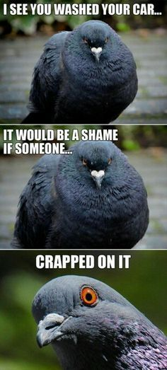 "Top 30 Funny animal Memes ""I see you washed your car would be a shame if someone crapped on it"" said EVERY Raven that lives in our small"