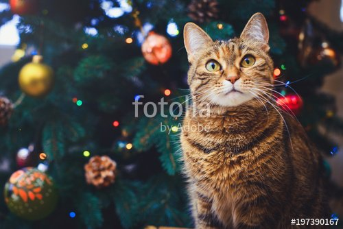 funny cat at home sitting at home Beautiful Christmas background with a new year daccor