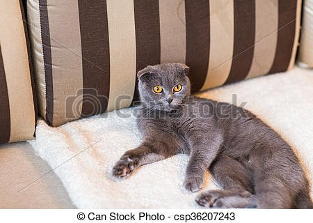 cute funny grey cat relaxing on the couch csp