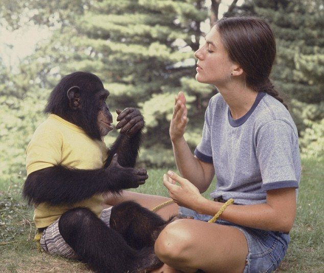 Monkey business Nim is taught sign language by volunteer Joyce Butler