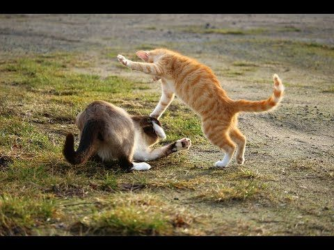 Real Cat Fight Funny cat fight video