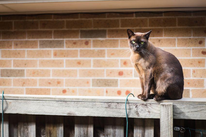 A Burmese Cat sitting on a fence
