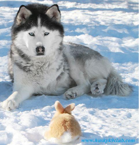 Husky Vs Rabbit