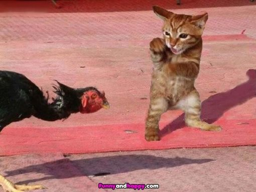 The boxing cat with turkey